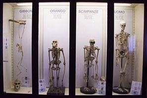 scheletri scimmie uomo