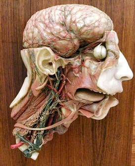 Anatomical model representing head and neck blood circulation - Wax modeller: Clemente Susini