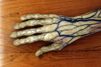 Detail of an anatomical model representing a hand and a forearm - Wax modeller: Clemente Susini
