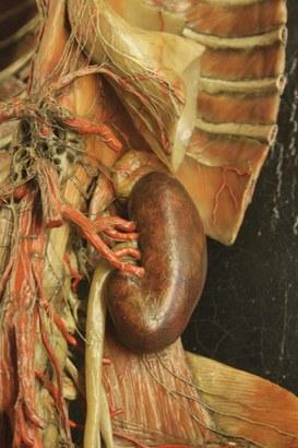 Detail of an anatomical model representing a kidney - Wax modeller: Giuseppe Astorri