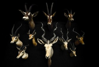 Antelopes, game trophy of Marchetti collection