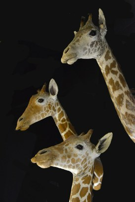 Giraffes, game trophy of Marchetti collection