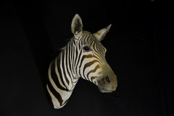 Zebra, game trophy of Marchetti collection