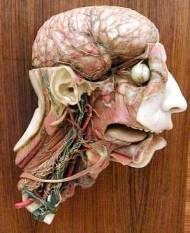 Modello anatomico rappresentante la circolazione sanguigna della testa e del collo - Ceroplasta Clemente Susini