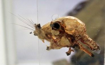 Arterie profonde della testa di scoiattolo comune (sciurus vulgaris)