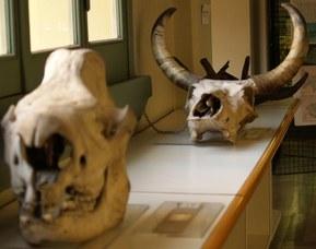 Crani di rinoceronte e bue (rhinoceros sumatrensis e bos taurus)