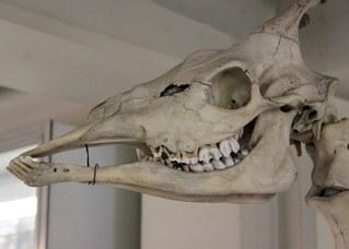 Cranio di giraffa (giraffa camelopardalis)