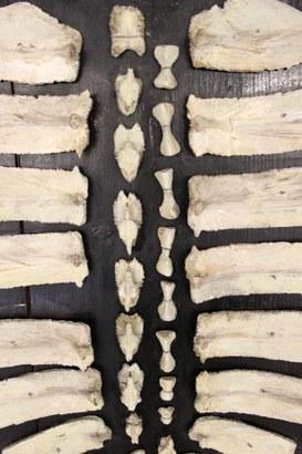 Scheletro scomposto dello scudo dorsale di tartaruga (testudi caouana)