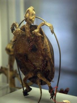 Polmoni e pleura di tartaruga caretta caretta