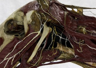 Testa di cavallo, particolare dei nervi cranici, Catalogo Papi, 1900