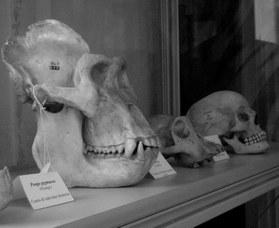 Confronto fra il cranio umano e quello di altri primati