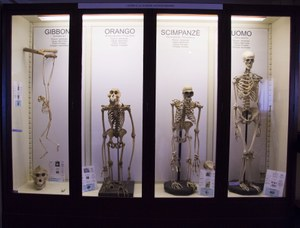 Scheletri di primati a confronto