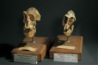 Crani di Mesopithecus Pentelici
