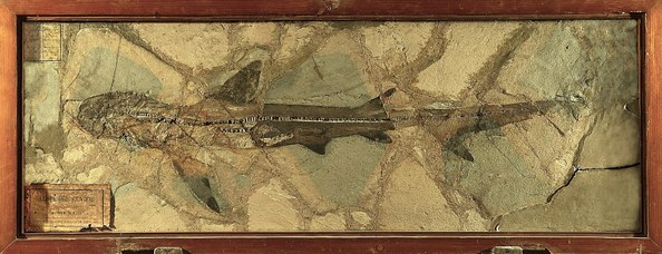 Alopiopsi Cuvieri, Monte Bolca