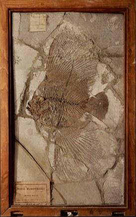 Platax Macropterygius, Monte Bolca