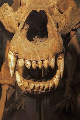 Cranio di orso delle caverne