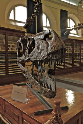 Cranio di Torvosaurus Tanneri