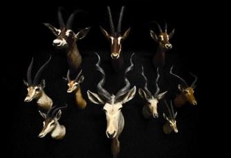 Antilopi. Trofeo di caccia della collezione Marchetti