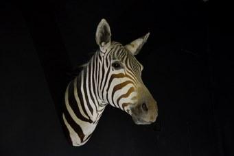 Zebra. Trofeo di caccia della collezione Marchetti