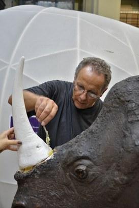 Particolare del Rinoceronte Indiano durante il restauro - Applicazione del corno