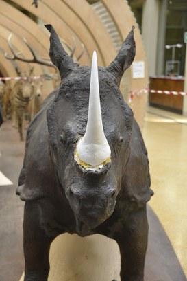 Particolare del Rinoceronte Indiano durante il restauro - Corno in gesso e polvere di marmo
