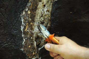 Particolare del Rinoceronte Indiano durante il restauro - Rimozioni chiodi