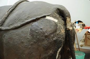 Particolare del Rinoceronte Indiano durante il restauro - Prove di pulitura