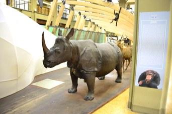 Rinoceronte Indiano con corno originale, prima del furto