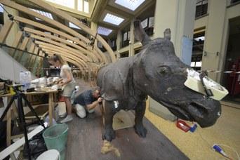 Rinoceronte Indiano durante il restauro