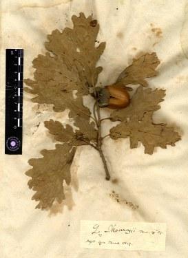 Quercus thomasii
