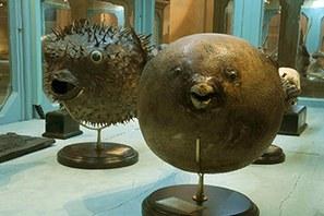 Pesci palla della collezione di Ulisse Aldrovandi