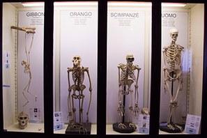 Vetrina con scheletri - Collezione di Antropologia