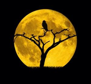 Gufo su un ramo in ombra con alle spalle la luna